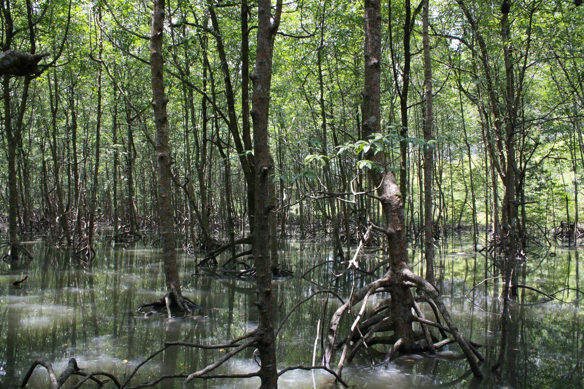 Langkawi foret mangrove forest